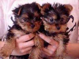 Yorkshire terrier cachorros para la adopción libre