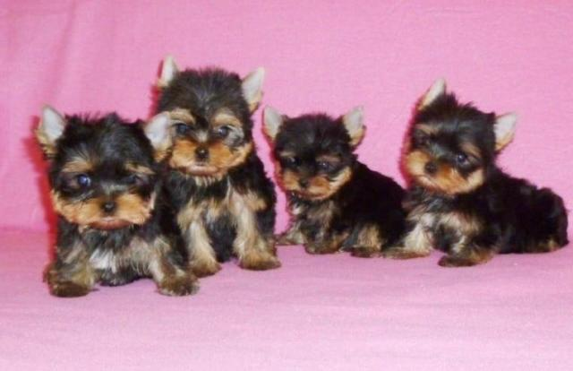 YORKSHIRE TOY YORKSHIRE TERRIER