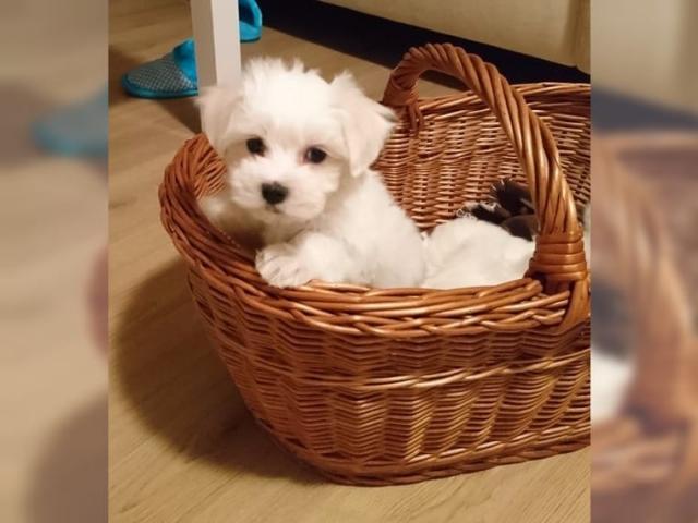 Regalo Regalo Cachorros Bichon Maltes pequeno para su adopcion