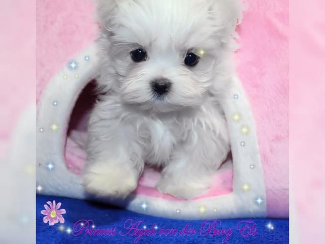 Regalo Cachorros Bichon Maltes en adopcion,