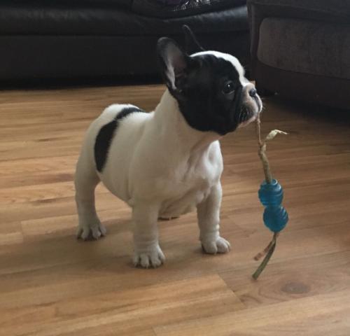 Lindos cachorros Bulldog Frances en adopcion