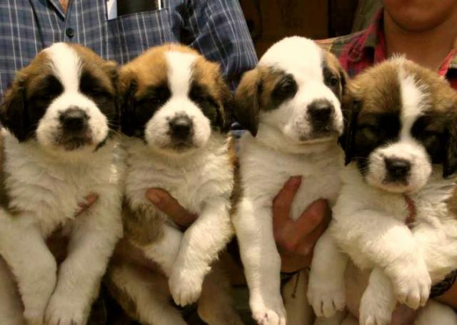 cachorro de San bernardo en adopcion