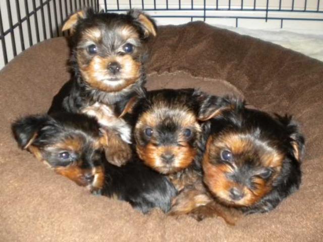 cachorros lindo y adorable yorkshie a precios asequibles. AKC r