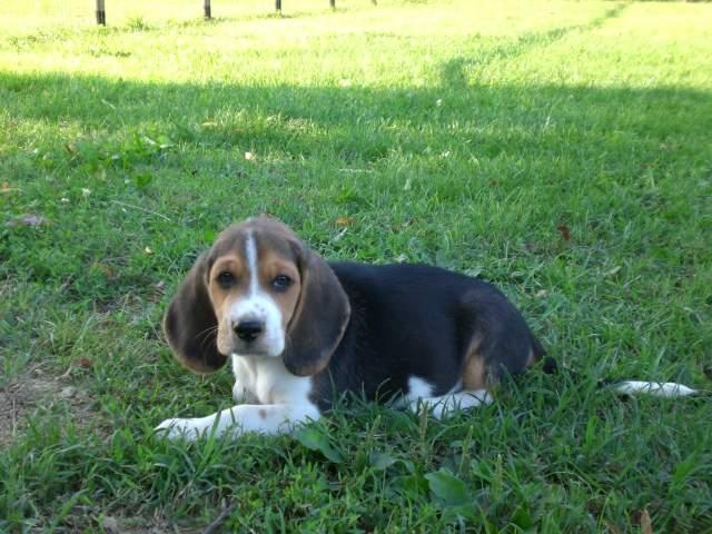 Regalo beagle tricolor