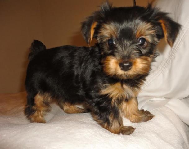 lindo y adorable yorkshire terrier cachorros para su aprobación.