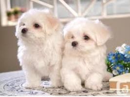 Caniche cachorros para la adopción libre