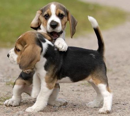Cachorros beagle en adopcion libre
