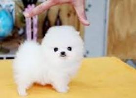 Regalo cachorros pomerania mini toy oferta de pomerania