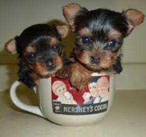 yorkies cachorros para Regalo Gratis no precio 00