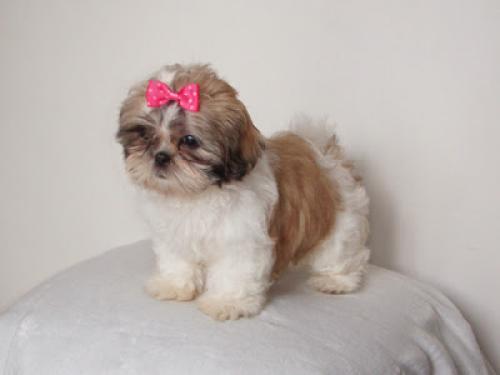 Mini Shih Tzu cachorros para Regalo Gratis no precio 00