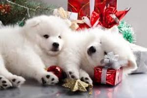 Pomerania cachorros para Regalo Gratis no precio 00