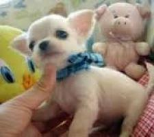 Regalo Los cachorros de Chihuahua mini toy gratis