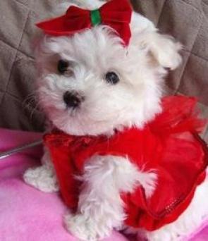 Regalo cachorros de bichon maltes mini toy gratis