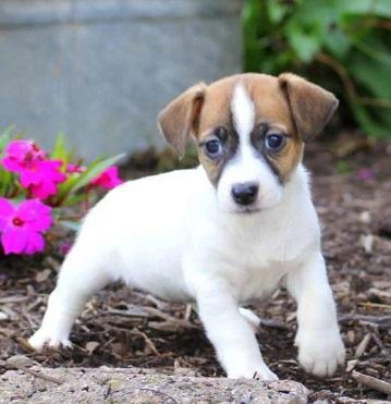 Cachorros jack Russell en adopcion
