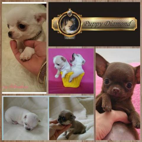 exclusive criadero boutique puppydiamond chihuahuas bichon lulu