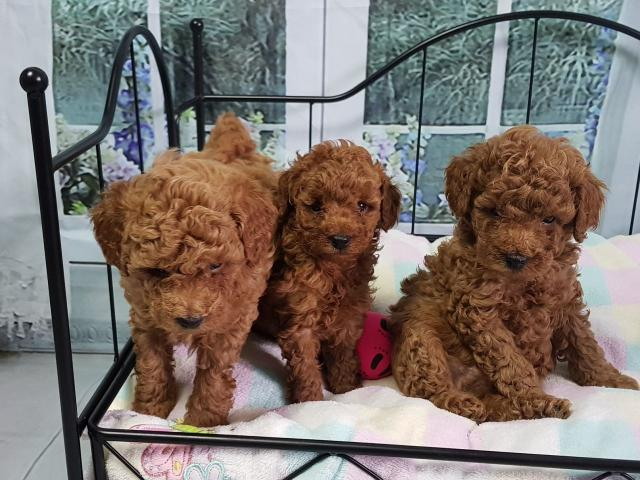 Excelentes cachorros de pura raza Caniche toy rojos