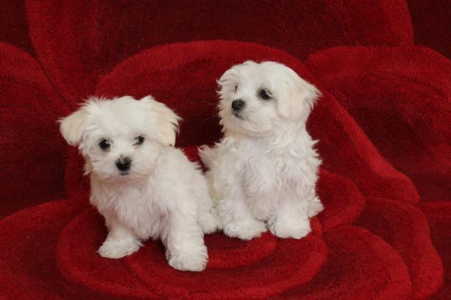 Cachorros super adorable teacup maltese