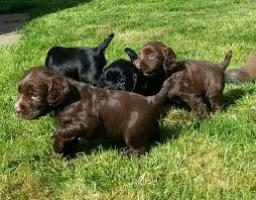 Cocker spaniel cachorros para adopcion