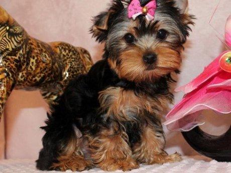 Miniatura Cachorros Yorkshire Terrier