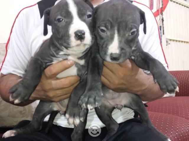 regalo dos cachorros pitbull taza de te necesita una nueva famili