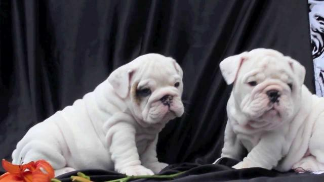 regalo Cachorros Akc registrado English bulldog cachorros