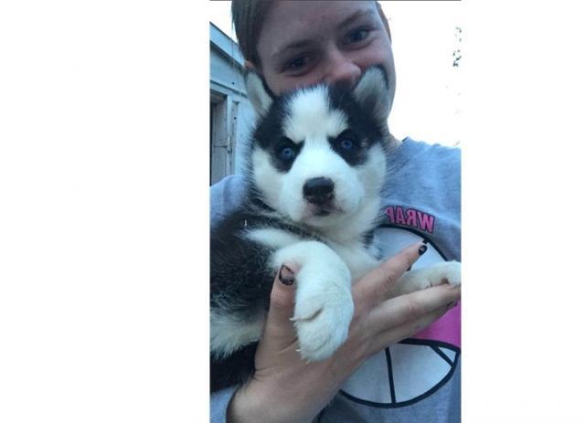 capacitados y saludables cachorros huskys para su aprobación