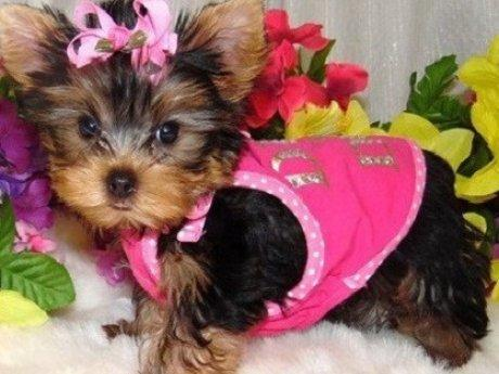 Regalo Cachorros Yorkshire Terrier