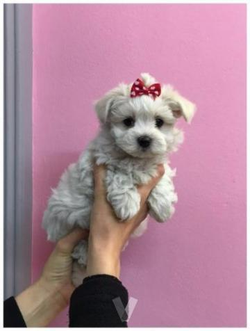 Preciosos cachorros bichon maltes miniatura.