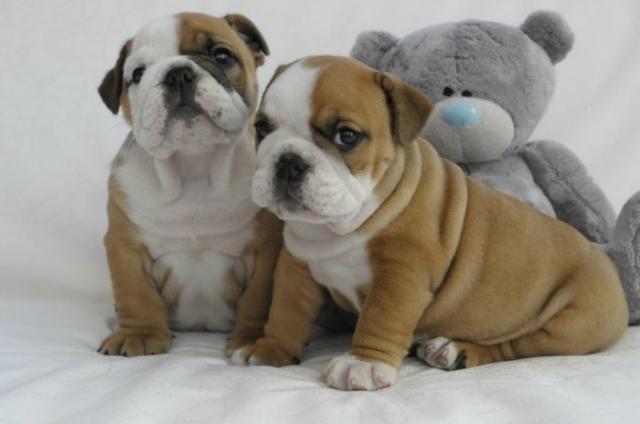 Regalo dos cachorros de bulldog ingles