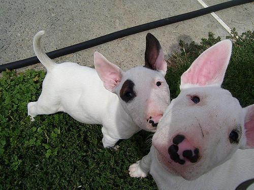 Regalo cachorros de bull terrier