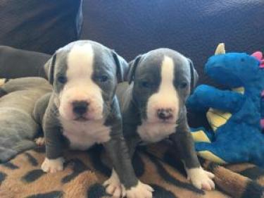 Regalo cachorros de Pitbull