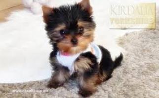 Regalo muy bonito perro Yorkshire salvaje en adopción