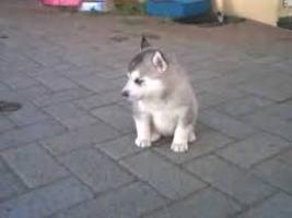 Ofertas: regalo cachorros de siberian husky de ojos azules de pur