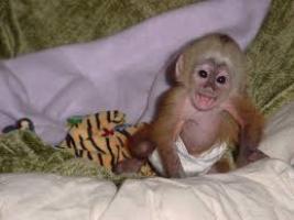Capuchino adorable y tití pigmeo