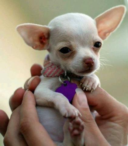 MONTA adorable preciosos chihuahua