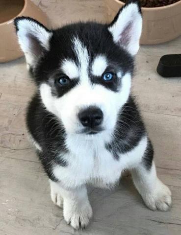 husky siberiano en busca de nuevas viviendas