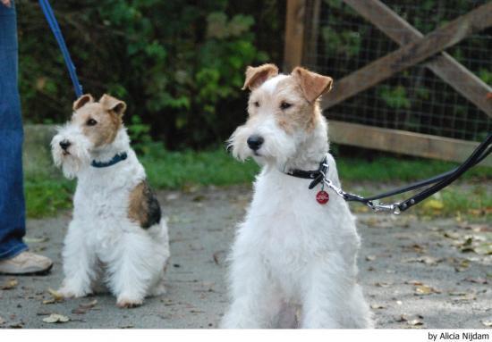 Cachorros de Fox Terrier -alambre