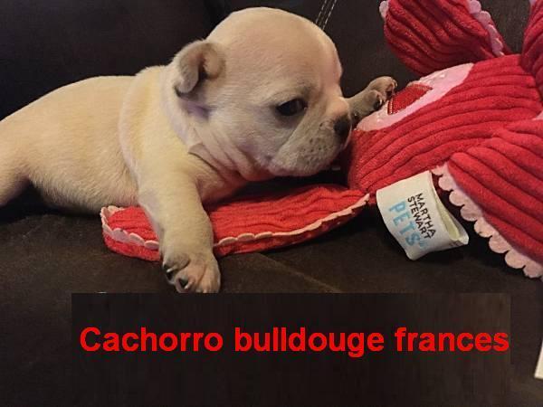 Regalo Cachorros bulldog francés gratis