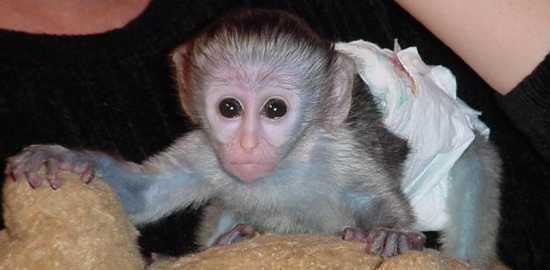 Bebé mono capuchino para la adopción