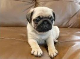 Cachorros inteligente Pug Carlino disponibles para la adopción