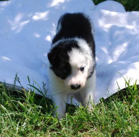 Regalo Fantastico Cachorros Border Collie