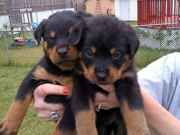Cachorros Rottweiler hermosos para la adopción