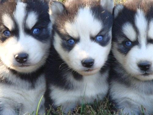 regalo Cachorros hermosos Siberian husk