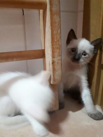 Regalo gatitos blanca y siamés