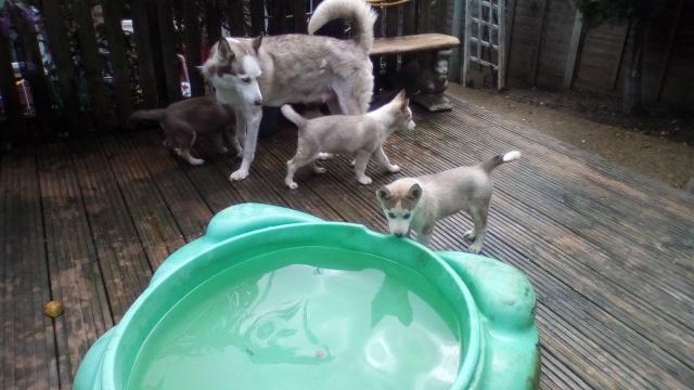 Siberian Husky cachorros disponibles para la venta