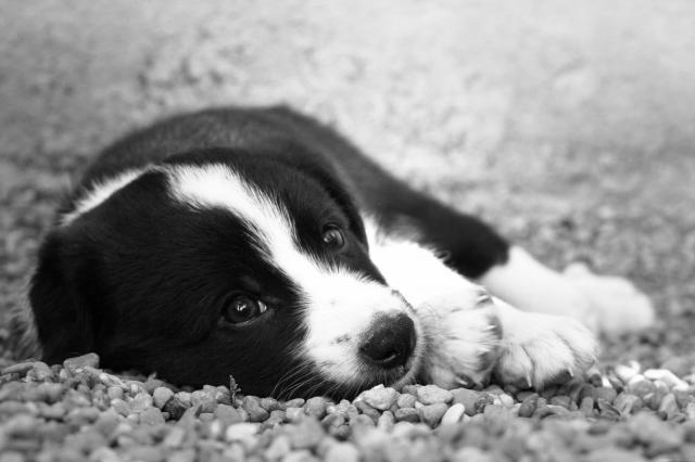 Cachorros 2 mesos Border Collie - Mastin