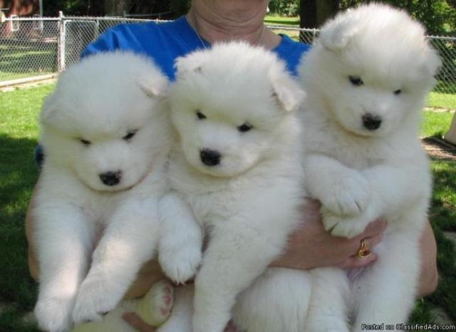 Regalo Bonitos Cachorros Samoyedo