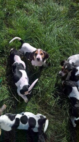 Estupendos cachorros de basset hound pura raza