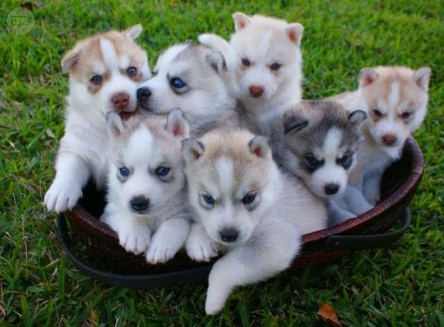 Gratis Cachorros husky siberiano.