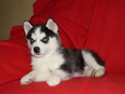 Regalo hermosos perros husky siberiano son tan pequeños y lindos.